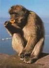 Silversea_wc_gibraltar_barbary_ape